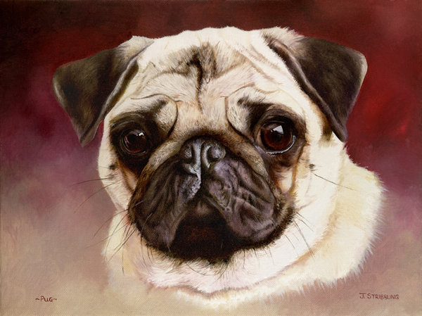Pug Head Study by Joanna Stribbling