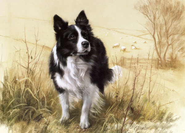 Border Collie by Gail Tointon