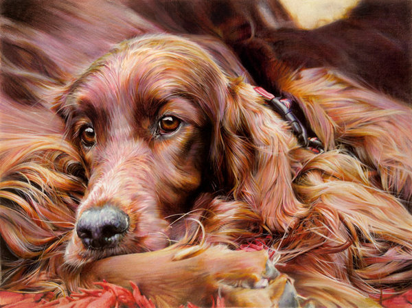 Settling Down - Irish Setter by Denise Finney