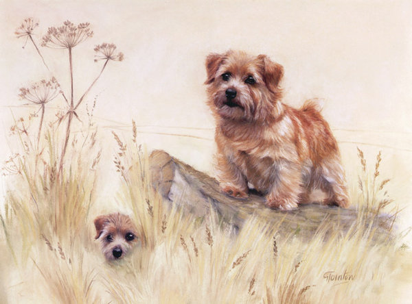 Norfolk Terrier by Gail Tointon